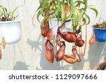 beautiful pitcher carnivorous...   Shutterstock . vector #1129097666