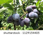 close up plum on a branch tree... | Shutterstock . vector #1129154405