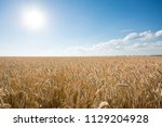 the field of ripe rye at sunset | Shutterstock . vector #1129204928