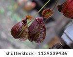 two beautiful pitcher of...   Shutterstock . vector #1129339436