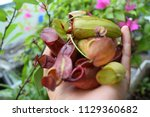 hand holding plenty of pitcher...   Shutterstock . vector #1129360682