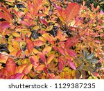 variegated leaves background | Shutterstock . vector #1129387235