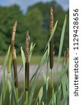 reed. cylindrical flower spikes ... | Shutterstock . vector #1129428656