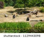 gorillas in dutch zoo | Shutterstock . vector #1129443098