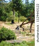 gorillas in dutch zoo | Shutterstock . vector #1129443122