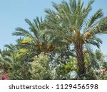 Date Palm Trees With Hanging...