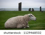 sheep laying on the green grass ... | Shutterstock . vector #1129468532