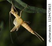 Small photo of Italian tree cricket molting