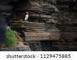 puffin sitting on brown cliffs... | Shutterstock . vector #1129475885