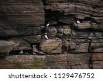 puffins sitting on brown cliffs ... | Shutterstock . vector #1129476752