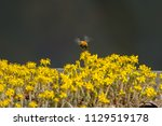 close up of bumble bee... | Shutterstock . vector #1129519178