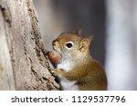 woods  red squirrel  | Shutterstock . vector #1129537796