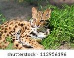 Resting Leopard Cat ...