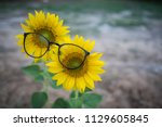 two sunflowers wearing a pair... | Shutterstock . vector #1129605845