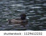 aythya fuligula swimming in... | Shutterstock . vector #1129612232