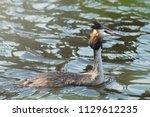 podiceps cristatus duck... | Shutterstock . vector #1129612235