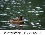aythya fuligula swimming in... | Shutterstock . vector #1129612238