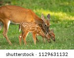 A White Tailed Deer Doe And Its ...