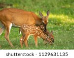 A White Tailed Deer Doe And It...