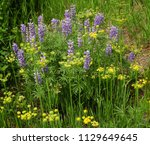 Pretty Purple  Lupines And...