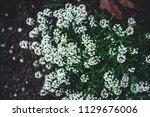 dark green moody bushes on a... | Shutterstock . vector #1129676006