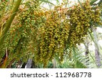 Dates Unripe In The Branches Of ...