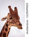 tall reticulated giraffe... | Shutterstock . vector #1129699025