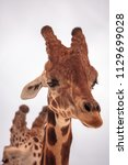 tall reticulated giraffe... | Shutterstock . vector #1129699028