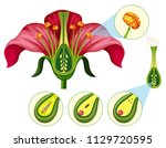 flower organs and reproduction... | Shutterstock .eps vector #1129720595