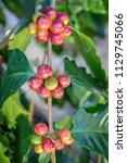 coffee tree with coffee bean on ... | Shutterstock . vector #1129745066