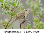 common chiffchaff | Shutterstock . vector #112977925