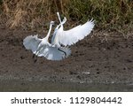 fighting of egret bird on mud... | Shutterstock . vector #1129804442