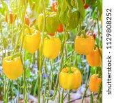 yellow paprika in the garden | Shutterstock . vector #1129808252