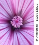 unknown flower from himalaya... | Shutterstock . vector #1129813022