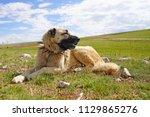 anatolian shepherd dog with... | Shutterstock . vector #1129865276