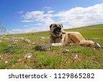 anatolian shepherd dog with... | Shutterstock . vector #1129865282