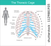 thoracic cage is made up of... | Shutterstock .eps vector #1129881935