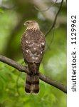 Small photo of Cooper's hawk Accipiter cooperii