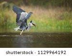 the grey heron  ardea cinerea ...   Shutterstock . vector #1129964192