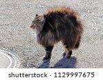 a norwegian forest cat is evil...   Shutterstock . vector #1129997675