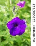 Purple Garden Flower With...