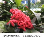 red pink flower spike and green ... | Shutterstock . vector #1130026472