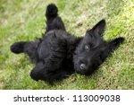 Playful Scottish Terrier Puppy...