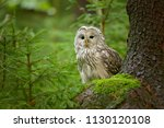 Stock photo the ural owl strix uralensis is a medium sized nocturnal owl of the genus strix with up to 1130120108