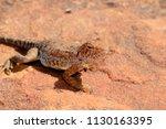 wild lizard or desert dragon in ... | Shutterstock . vector #1130163395