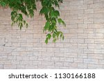 green branches of the siberian... | Shutterstock . vector #1130166188