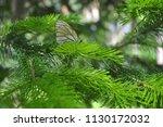 cabbage butterfly on a fir... | Shutterstock . vector #1130172032