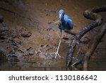 little blue heron  egretta... | Shutterstock . vector #1130186642