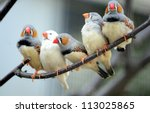 zebra finch | Shutterstock . vector #113025865