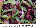 tropical pitcher carnivorous...   Shutterstock . vector #1130277332